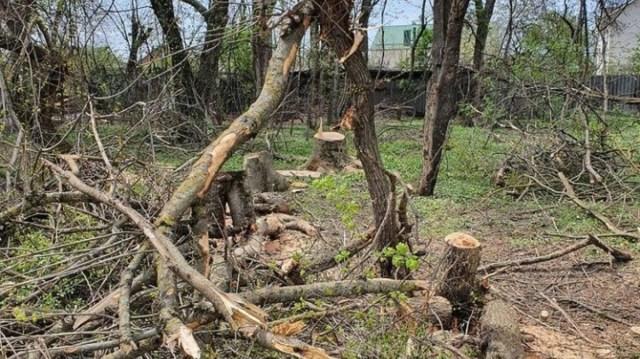 «Чёрные лесорубы» вырубили три десятка белых акаций на Ставрополье