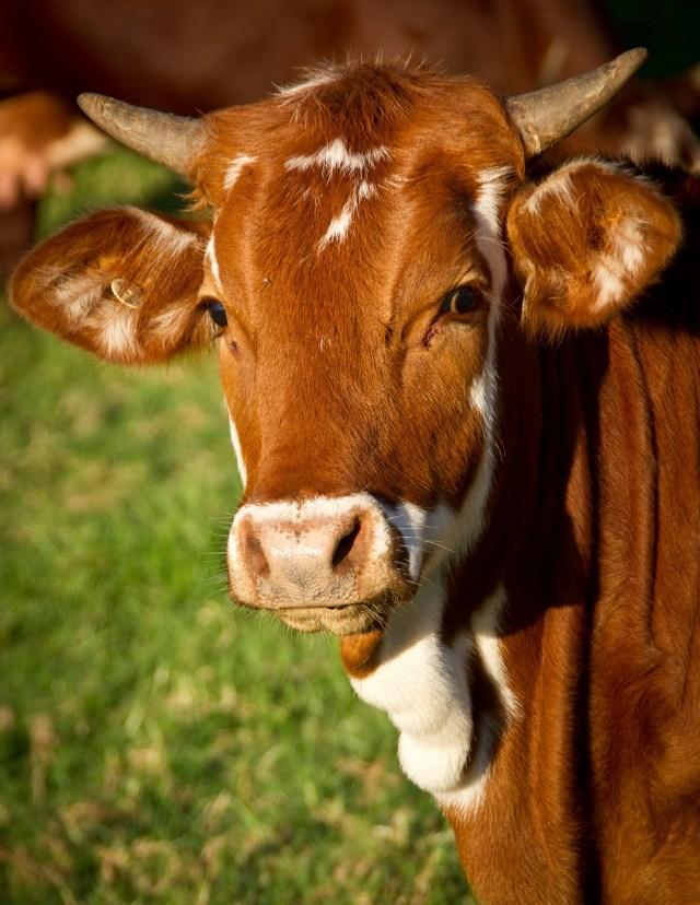 Коровы съели молодые деревца в Кисловодске