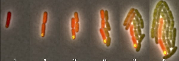 Over the course of 93 minutes, the process Rice University researchers call asymmetric plasmid partitioning prompted a single Escherichia coli bacterium to divide into two genetically distinct types of bacteria. Daughter microbes seen fluorescing in the right images retain the DNA-carrying plasmids (marked by the yellow dots) while their now-differentiated siblings do not. (Credit: The Bennett Lab/Rice University)