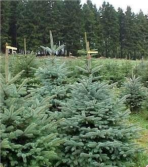 Au confiscat o sută de pomi de Crăciun. Amenda e de doar 2.000 de lei