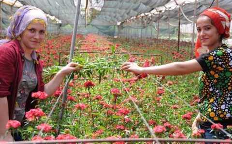 Турция поставила к 8 марта 80 млн срезанных цветов в 48 стран
