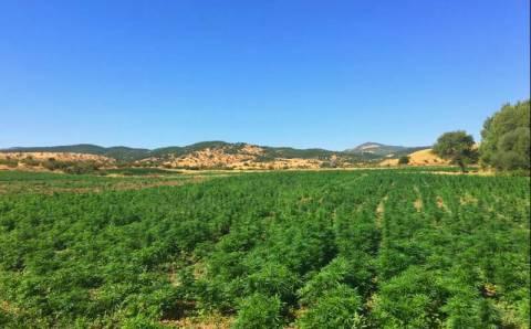 Жандармерия уничтожила крупнейшую в истории плантацию конопли