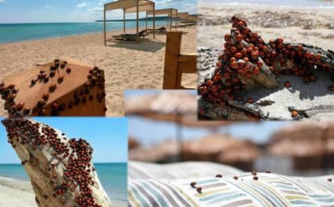 Божьи коровки заполонили пляжи Эдирне
