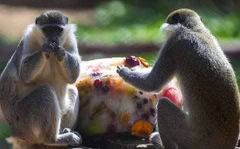 Обитателей зоопарка Анталии спасают от жары льдом