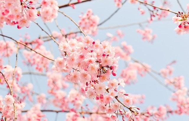 東京のお花見おすすめ 2016の厳選ベスト5!