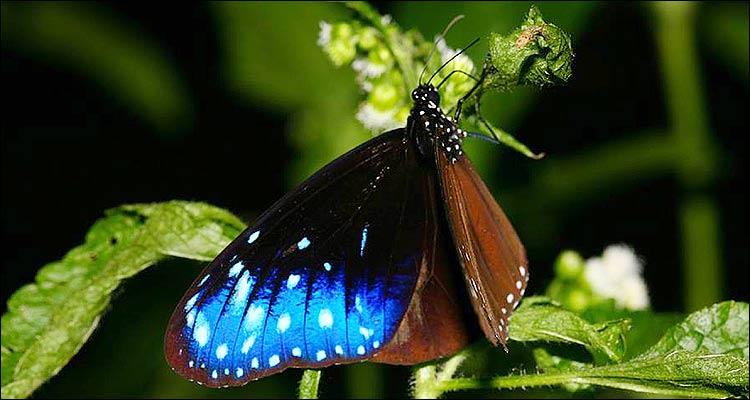 De la familia Danaidae, a la que pertenecen las mariposas monarcas, en Taiwán hay 13 especies.