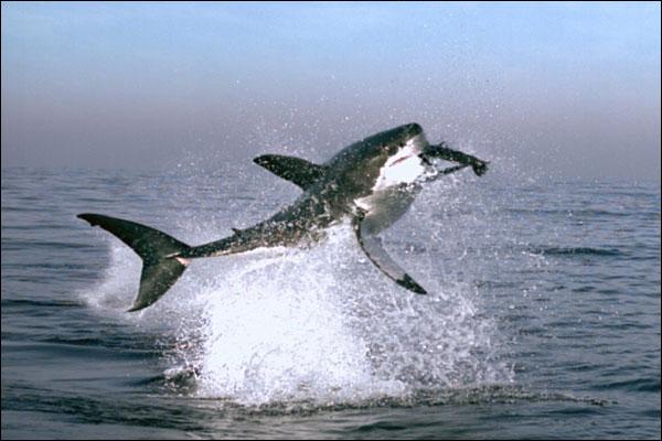 Shark hunts seals