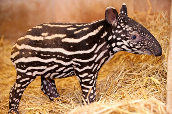 Image result for malayan tapir baby