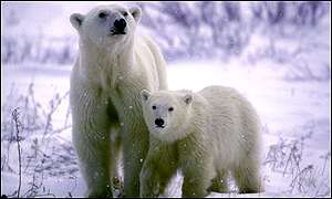 BBC - Polar Bear plight