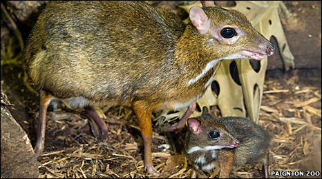 Malay mouse deer and baby