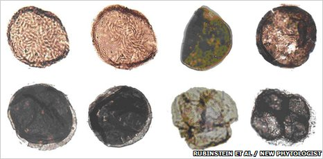 Liverwort cryptospores, the oldest land plant fossils yet found