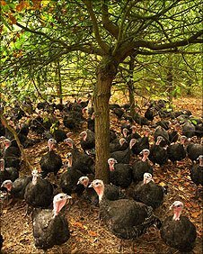 Turkeys at Hyde Hall