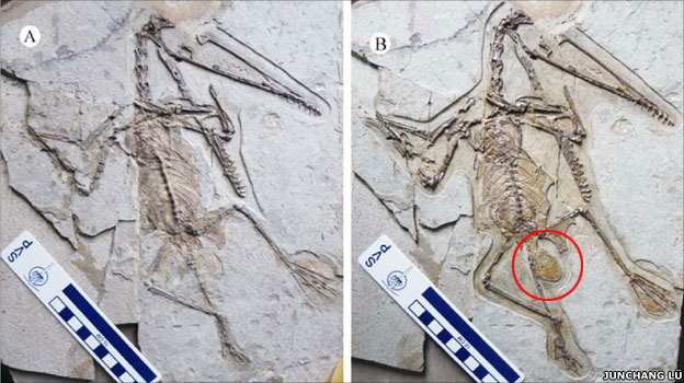 The female fossil partially prepared (A). After being fully prepared (B), the egg is clear to see (red circle)