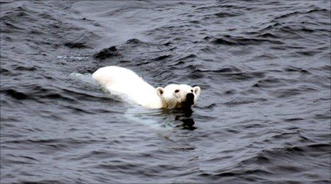A polar bear swimming in Arctic waters (c) Mila Zinkova