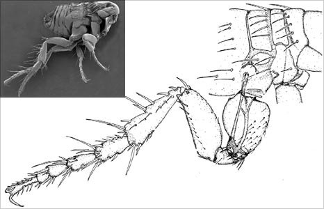 Diagram of a flea's leg (Image: Journal of Experimental Biology)