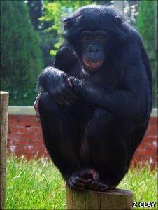 Banya, a bonobo involved in the study (c) Zanna Clay