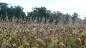 Corn in the foreground, forest in the background