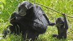 A young gibbon with its mother at a zoo in Pembrokeshire, Wales, 25 May, 2011