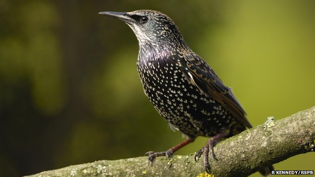 Starling (c) Ray Kennedy