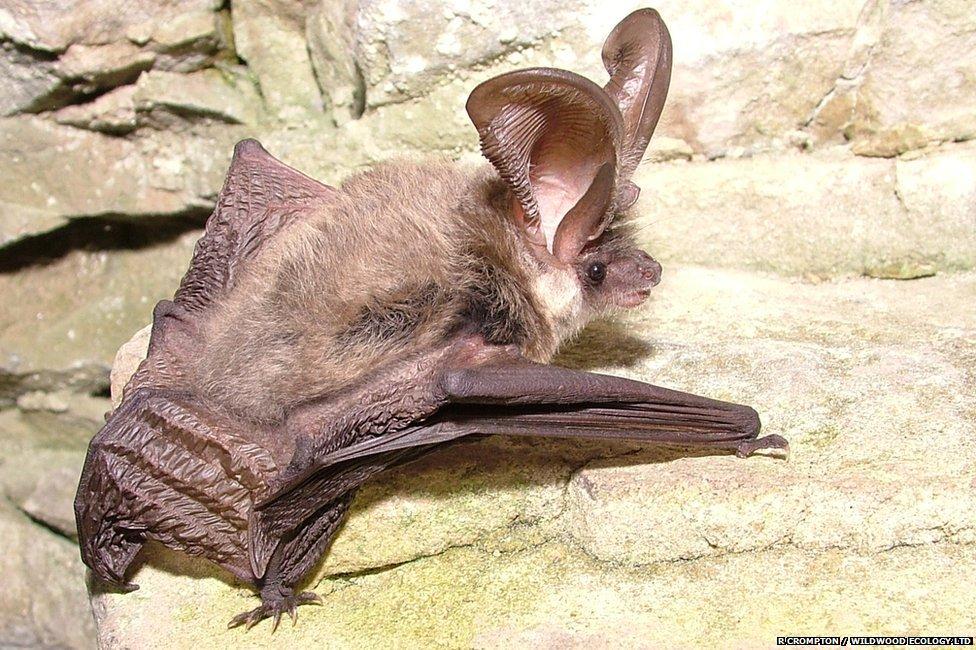 Grey long-eared bat, photo R.Crompton, Wildwood Ecology Ltd.