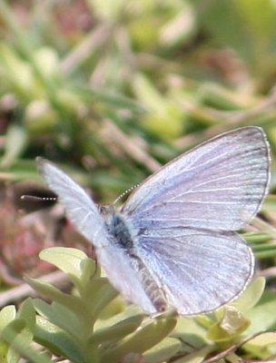 Pale grass blue butterfly