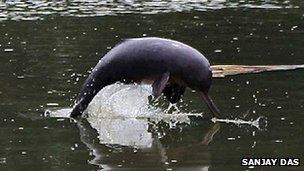 River dolphin Sanjay Das