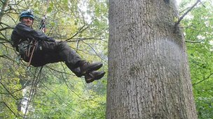 The English oak was scaled and measured by climbing expert Waldo Etherington