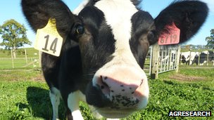 Daisy the genetically modified cow