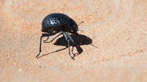 https://i1.wp.com/news.bbcimg.co.uk/media/images/64341000/jpg/_64341948_beetle.jpg