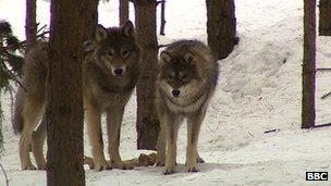 Wolves - such a magnificent animal.