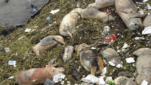Dead pigs along Songjiang, Shanghai - picture released 10/3/13