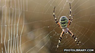 Wasp spider on a web