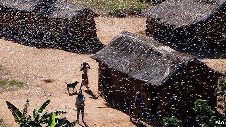 Enjambre de langostas en Madagascar