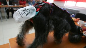 A dog with a dog harness attached to collect waste