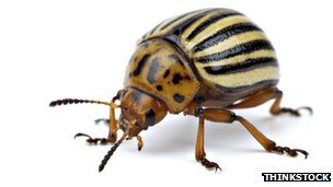 A potato beetle