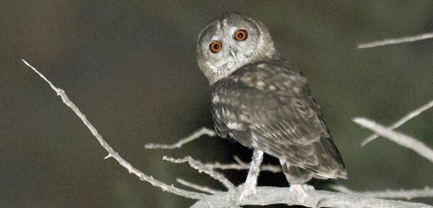 The owl in Oman, photo by Arnoud van den Berg