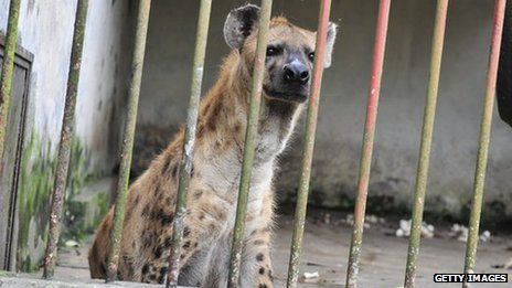 Hyena in East Africa - file photo