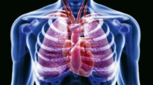 The gallery for > Real Heart And Lungs