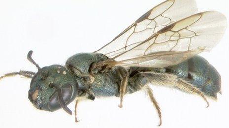 Carpenter bee     Sandra Rehan, University of New Hampshire