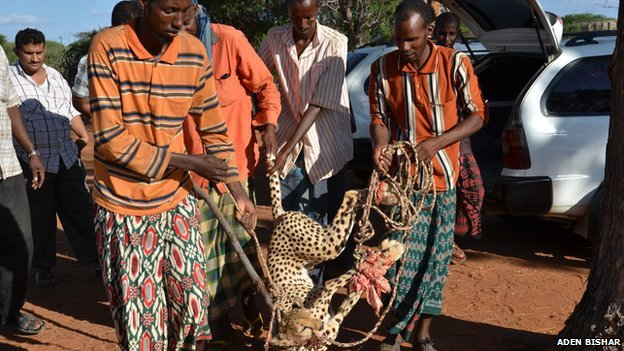 One of the cheetahs captured by four Kenyan man