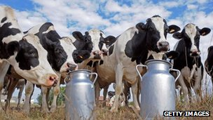 Cows and milk churns