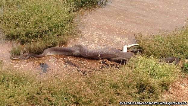 The snake, pictured after eating the crocodile at Lake Moondarra on 2 March 2014