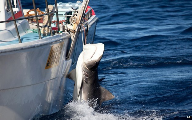 Male tiger shark killed as part of Western Australia cull