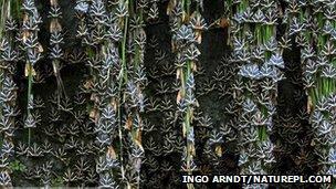 Jersey tiger moths