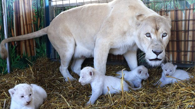 Four Rare White Lion Cubs Born At Circus In Germany Bbc News