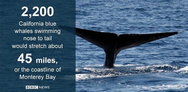 California blue whales