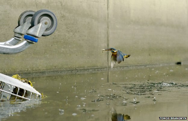 Urban kingfishers making a home on London's waterways ...