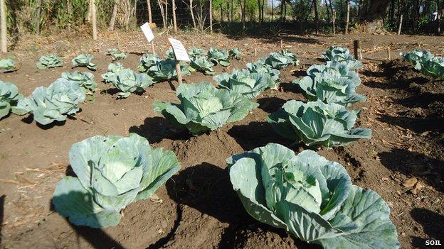 Cultivos de hoja utilizando excrementos humanos como abono