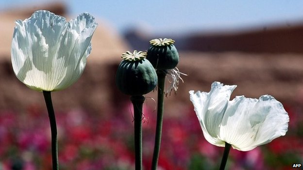 In this photograph taken on April 27, 2014 poppy seedheads stand amidst the blooming flowers in a field on the outskirts of Kandahar