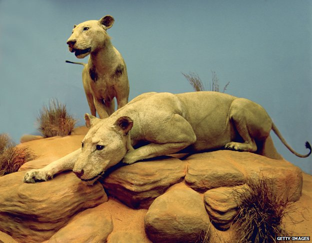 The Tsavo lions in Chicago's Field Museum